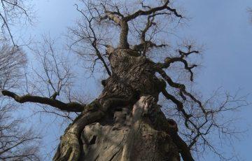 Dąb Józef w Wiśniowej Europejskim Drzewem Roku